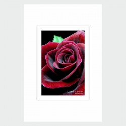 Postcard Red and Black Rose
