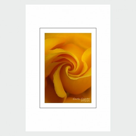 Postcard Yellow Rose
