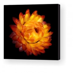 Gallery Wrap Canvas - Helichrysum
