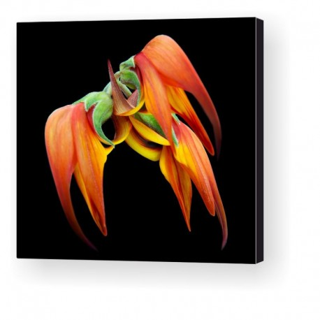 Gallery Wrap Canvas - Lotus Berthelotti