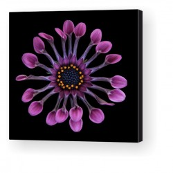 Gallery Wrap Canvas - Osteospermum