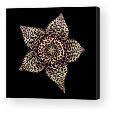 Gallery Wrap Canvas - Stapelia