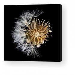 Gallery Wrap Canvas - Taraxacum Officinale