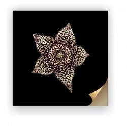 Canvas Print - Stapelia