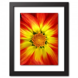 Framed Print Orange Dahlia