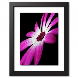 Framed Print Pericallis Cineraria